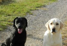 Honden-Labradors-Luna-Kiki