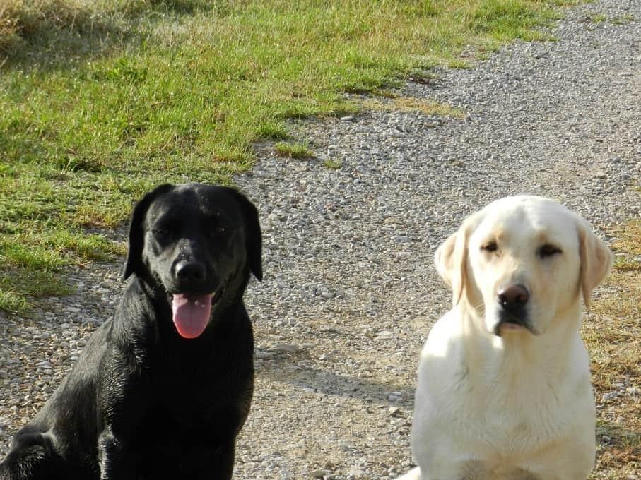 Onze honden Luna en Kiki, twee hele lieve labradors