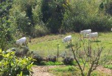 Koeien-Simpatica-Moestuin