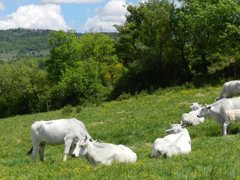 Koeien rond Polmone, een agriturismo of appartementen
