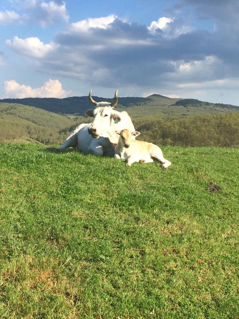 Een prachtige omgeving met witte koeien
