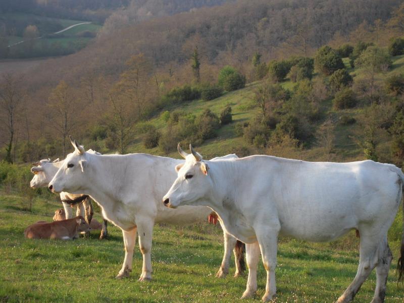 Op het landgoed lopen Chianina runderen rond