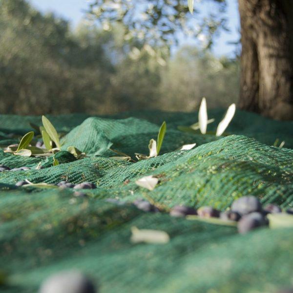 Er wordt een net op de grond gelegd voordat de olijven uit de boom worden geslagen