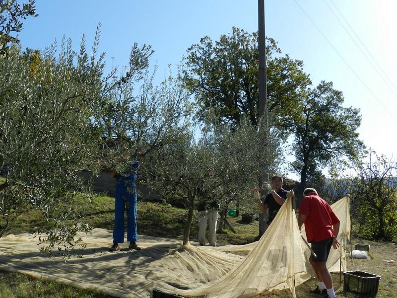 Overal in Umbrië liggen er in november netten onder de olijfbomen