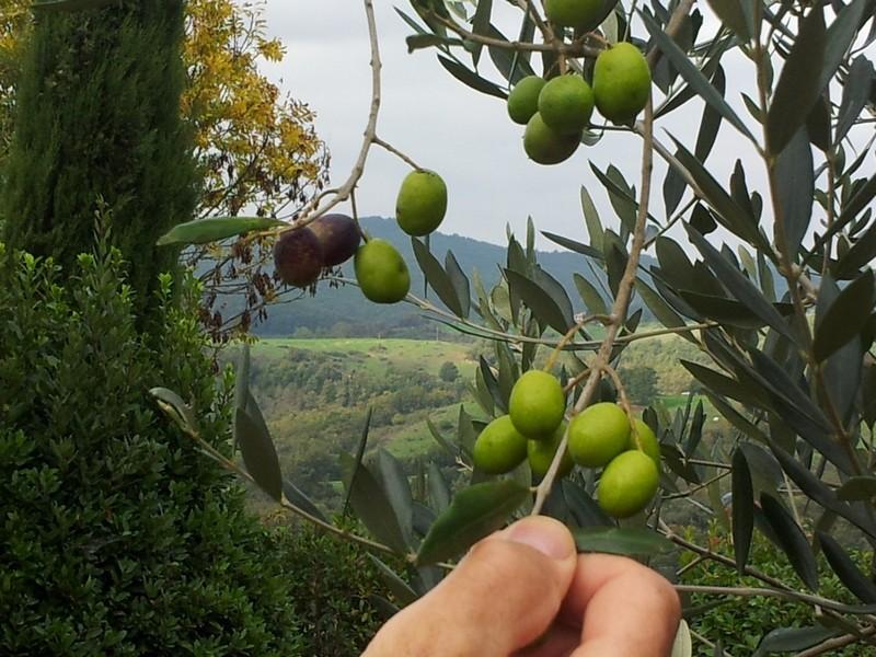 Hoe wordt olijfolie gemaakt van zo'n klein olijfje