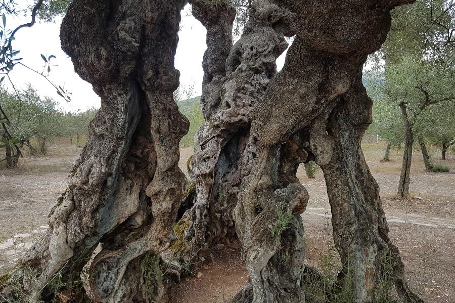 Dit is de oudste olijfboom in Umbrie