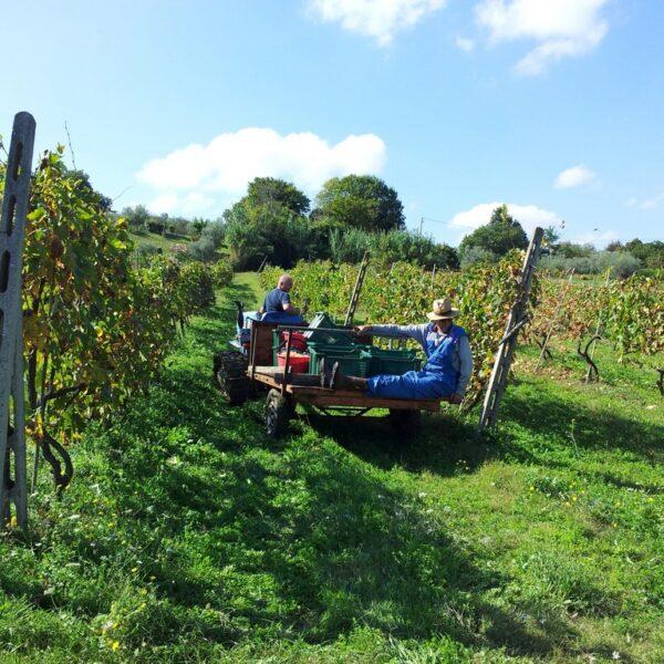 Wijn van de regio Umbrië, maar eerst plukken