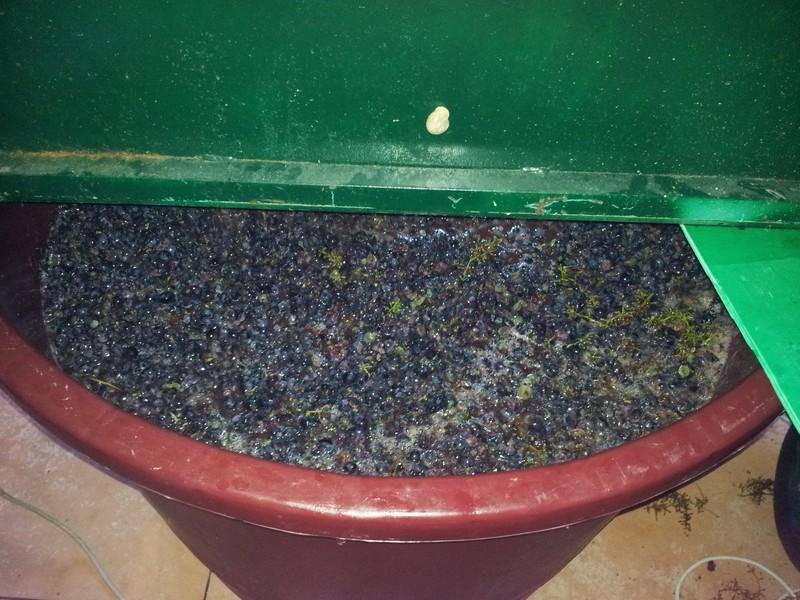 De druiven zijn ontsteeld, maar nog niet geperst. De alcoholvorming kan beginnen