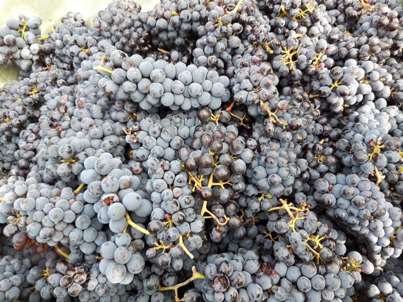 Net geplukte rode druiven